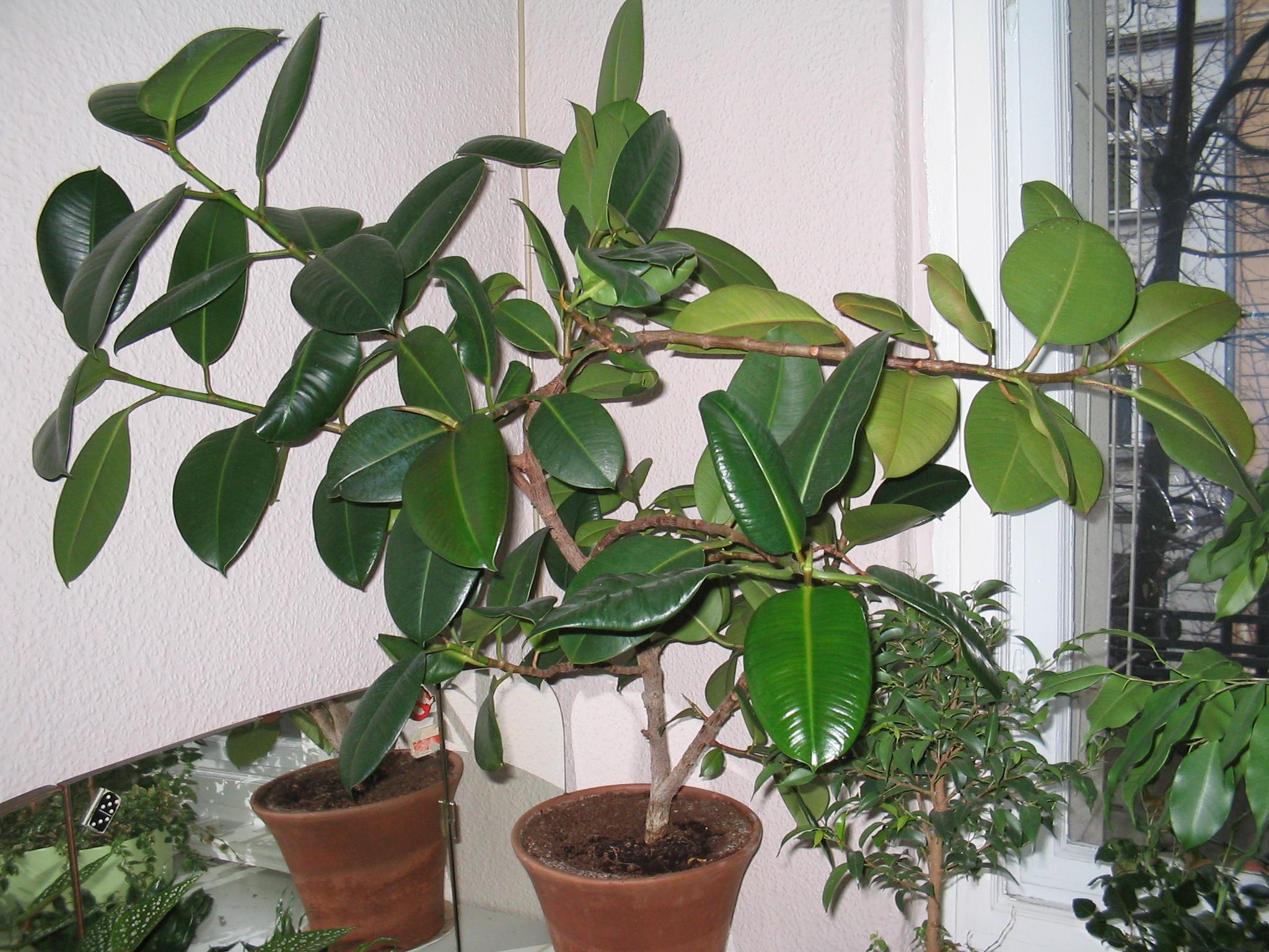 Nochmal ableger gummibaum sibylle wer weiss for Kleine zimmerpflanzen